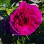 fsduskflower