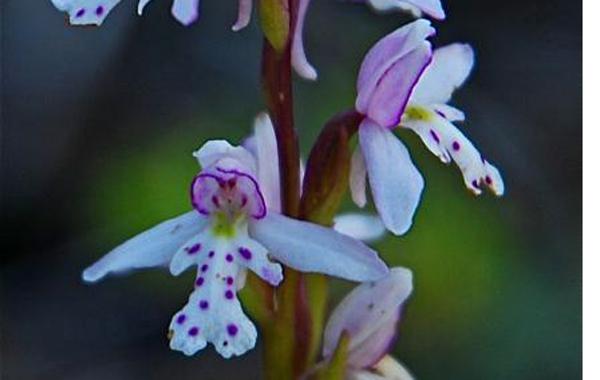 orchidround