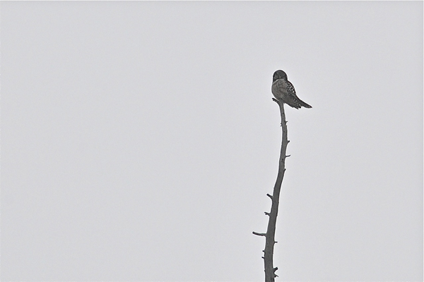 Northern Hawk Owl by Larry Halverson