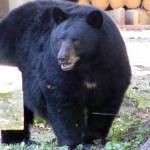 aneex-balck-bear