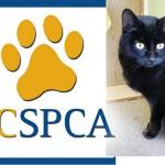BC SPCA cat