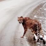Cheetah 3a