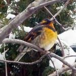 Bird count thrush KG