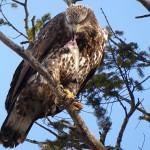 Eagle feed JW