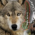 South Selkirks wolf cull